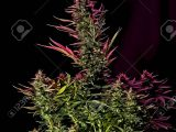 Mature Cannabis Female Plant Buds Under Led Lighting Stock Photo within proportions 867 X 1300